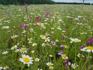 Wildflowers in Tollerton